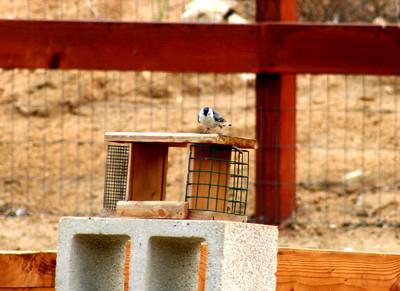 8/26/07 White-breasted Nuthatch (Sitta carolinensis). Kyle Court, La Cresta, Murrieta, Riverside County, CA