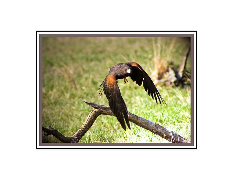 Harrison's Hawk