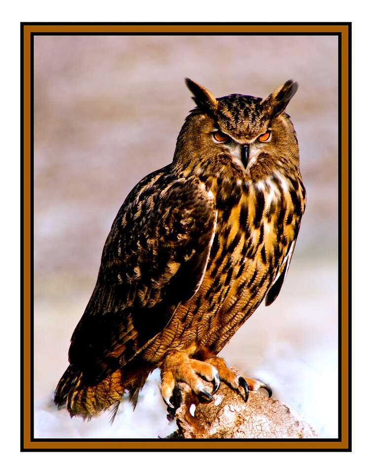 Riga<br /> Eagle Owl