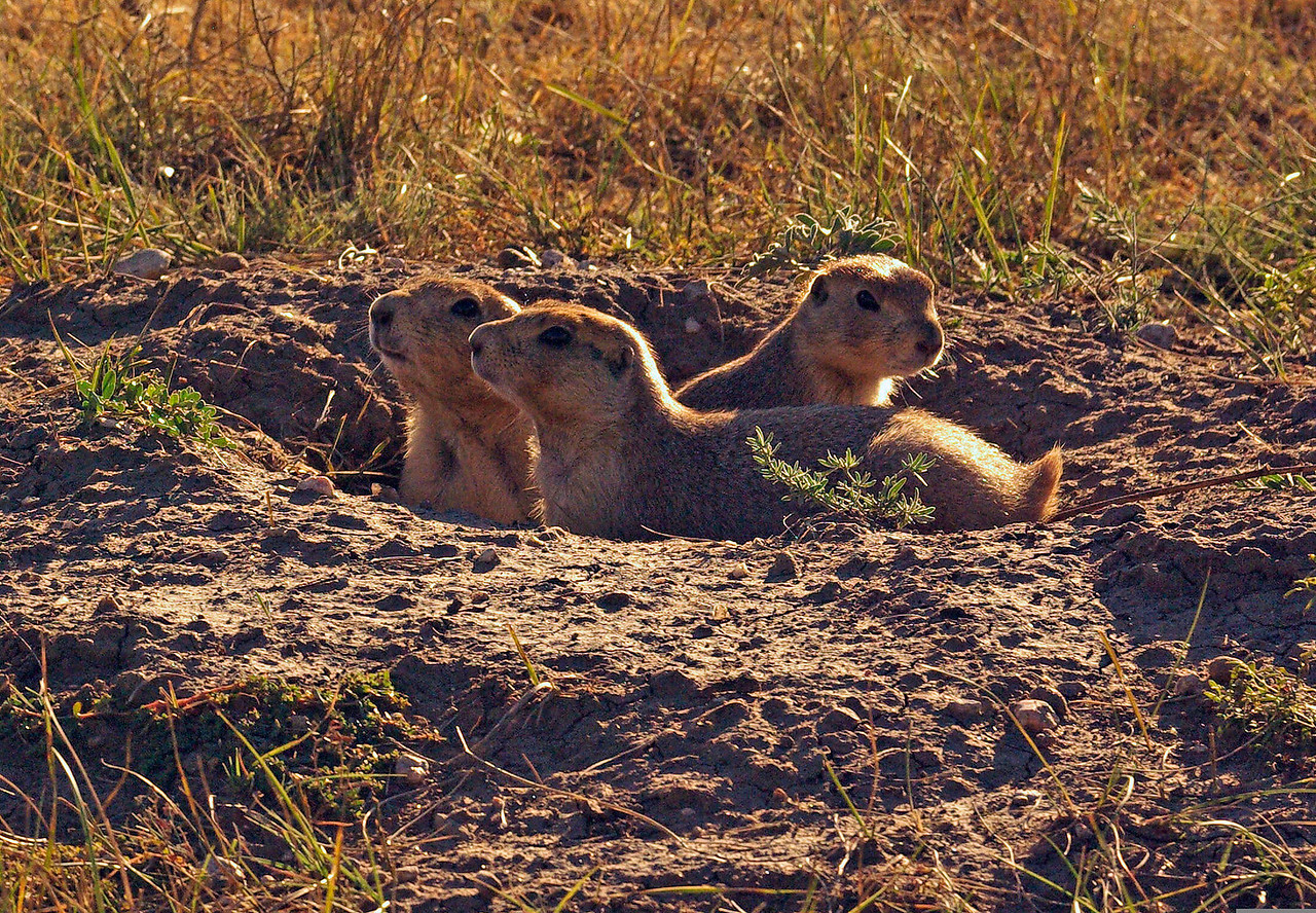 Prairie Dogs image taken Wind Cave National Park in Bison pasture area north of the cave.