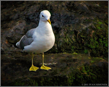 "Mr.NEAT"",gull,Anan,Alaska,USA."