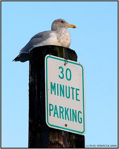 """PARKING UNLIMITED"", a gull, Wrangell, Alaska, USA.-----""NEOMEZENE PARKOVANI"", morsky racek."