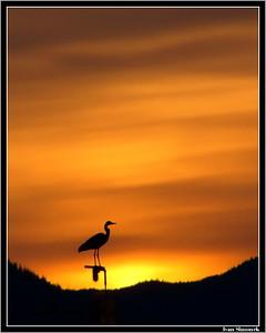 """WRANGELL SUNSET"", a great blue heron,natural colors,  Alaska, USA.-----""WRANGELLSKY ZAPAD SLUNCE"", ardea herodias, prirodni barvy, Aljaska, USA."