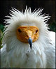 """EGYPTIAN VULTURE 1"",also known as White Scavenger Vulture or Pharaon`s Chicken,Prague Zoo,Czech Republic."