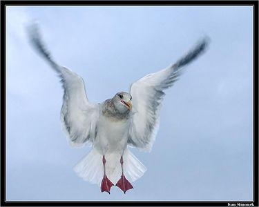 """""""WING TWIST"""", a gull, Southeast Alaska, USA.-----""""TWISTOVA KRIDLA"""", morsky racek, jihovychodni Aljaska, USA."""