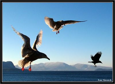 """ I AM GETTING OUT OF HERE "", two gulls chasing a crow,Southeast Alaska, USA.-----"" MIZIM "", dva morsti rackove honi vranu, jihovychodni Aljaska, USA."