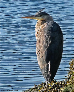 """GREAT BLUE HERON"",Wrangell,Alaska,USA."