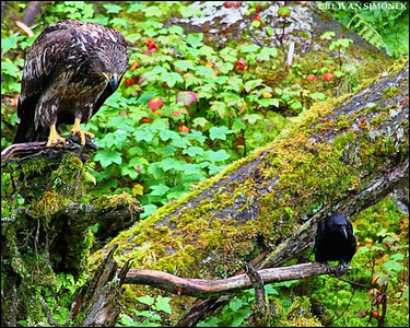 """COPYCAT"",a Crow and young Bald eagle,Anan,Alaska,USA."