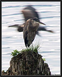 """A FLY BY"", Great Blue Herons, Wrangell, Alaska, USA.-----""PRULET"", ardea herodias."