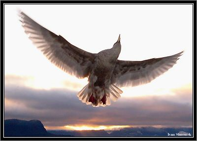 """FIREBIRD"", a gull at sunset, Wrangell, Alaska, USA.-----""PTAK OHNIVAK"", morsky racek a zapad slunce, Wrangell, Aljaska, USA."