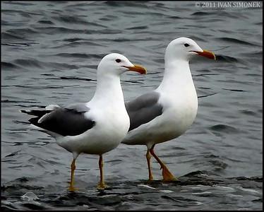"""""""CLONES"""",Gulls,Wrangell,Alaska,USA."""