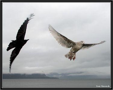 """HELLO"", raven passing a gull,Southeast Alaska, USA.-----""AHOJ"", havran miji morskeho racka, jihovychodni Aljaska, USA."