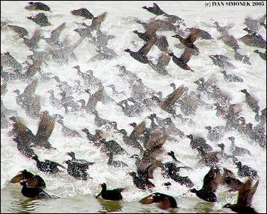 """PANIC"", Surf Scoters near Wrangell, Alaska, USA-----""PANIKA"", Melanitta perspicillata u Wrangellu, Aljaska, USA."