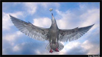 """ALMOST..."", a gull catching a piece of bread, Southeast Alaska, USA.-----""SKORO..."", morsky racek chytajici sousto chleba, jihovychodni Aljaska, USA."