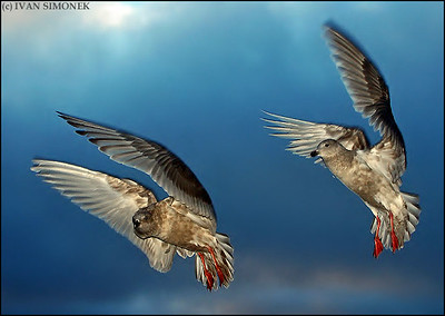 """TANDEM FLYING"",gulls,Southeast Alaska,USA."