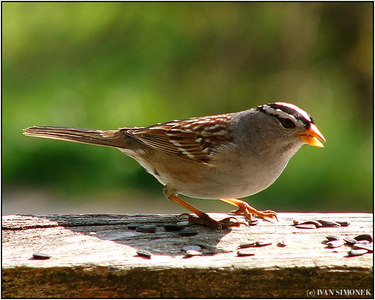 """CROWNED"", Golden crowned sparrow, Wrangell, Alaska, USA."