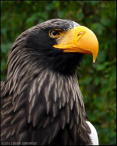 """STELLER`S SEA EAGLE 1"",Prague Zoo,Czech Republic."