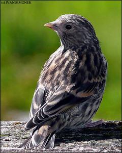 """CURIOUS"",a young sparrow,Wrangell,Alaska,USA."