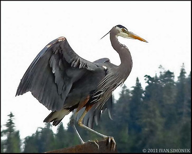 """READY FOR TAKEOFF"",Great Blue Heron,Wrangell,Alaska,USA."