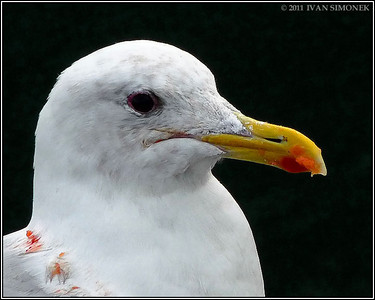 """ALWAYS HUNGRY"",a Gull,Wrangell,Alaska,USA."