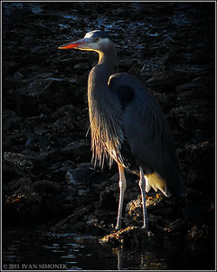 "'WAITING GAME"",Great Blue Heron,Wrangell,Alaska,USA."