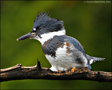 """BELTED KING FISHER1"",Alaska,USA."