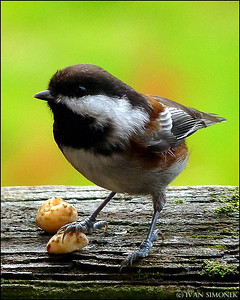 """FINDERS KEEPERS"",Chickadee,Wrangell,Alaska,USA."