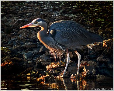 """SUNSET PROWL"",a Great Blue Heron,Wrangell,Alaska,USA."