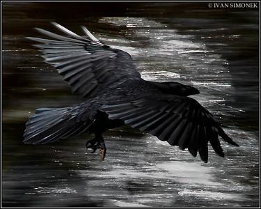 """""""RAVEN 1"""",Alaska,USA."""