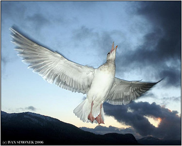 """JOY OF FREEDOM"", gull, Alaska, USA-----""RADOST ZE SVOBODY"",racek morsky,Aljaska, USA."