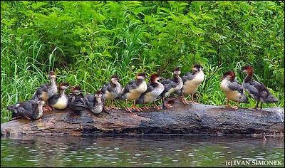 """MERGANSERS"",Stikine river,Alaska,USA."