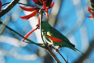1/2/04 Yellow-Chevroned Parakeet (Brotogeris chiriri). Huntington Library & Gardens, San Marino. Los Angeles County, CA