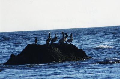 3/9/02 Brown Pelican (Pelecanus occidentalis). Rocks off beach across from Malibu Creek Lagoon, Malibu Creek State Park, Los Angeles County, CA