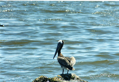 6/8/02 Brown Pelican (Pelecanus occidentalis). Salt Creek Campground, Salton Sea, Imperial County, CA