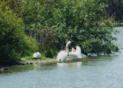 5/4/02 American White Pelican (Pelecanus erythrorhynchos). San Joaquin Wildlife Sanctuary, Irvine, Orange County, CA
