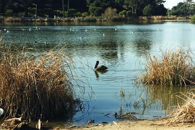 1/14/01 Brown Pelican (Pelecanus occidentalis). Andree Clark Bird Refuge, Santa Barbara County, CA