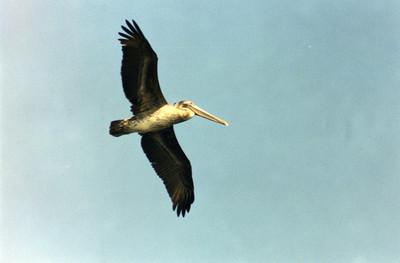 10/27/02 Brown Pelican (Pelecanus occidentalis). Outer Bolsa Chica Bay, Bolsa Chica Ecological Reserve, Huntington Beach, Orange County, CA