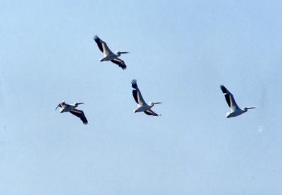 6/22/02 American White Pelican (Pelecanus erythrorhynchos). Prado Regional Park, Chino Hills, San Bernardino County, CA