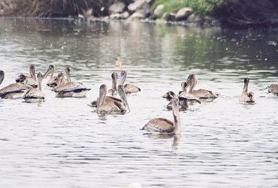 8/20/04 Brown Pelican (Pelecanus occidentalis). Pismo State Beach, San Luis Obispo County, CA
