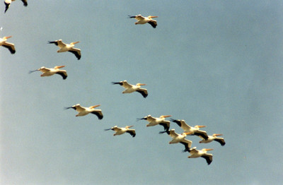 10/27/02 American White Pelican (Pelecanus erythrorhynchos). Outer Bolsa Chica Bay, Bolsa Chica Ecological Reserve, Huntington Beach, Orange County, CA