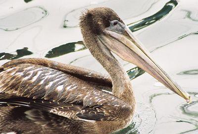 8/19/04 Brown Pelican (Pelecanus occidentalis). Morro Bay, San Luis Obispo County, CA