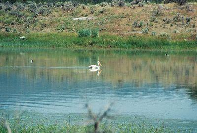 7/4/05 American White Pelican. Dorris Reservoir, Modoc National Wildlife Refuge, Modoc County, CA