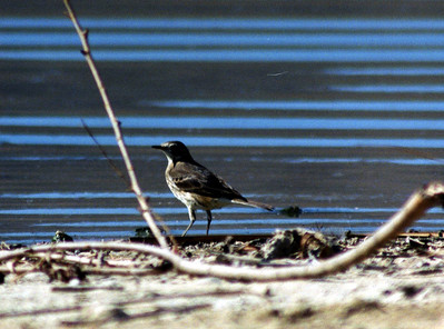 2/24/02 Water Pipit (Anthus spinoletta). San Jacinto Wildlife Area, Riverside County, CA