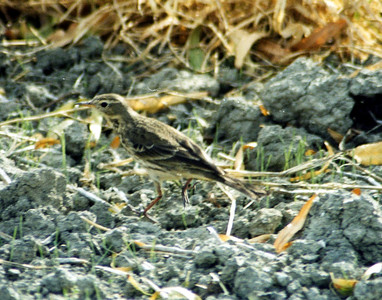 11/24/02 Water Pipit (Anthus spinoletta). San Jacinto Wildlife Area, Riverside County, CA