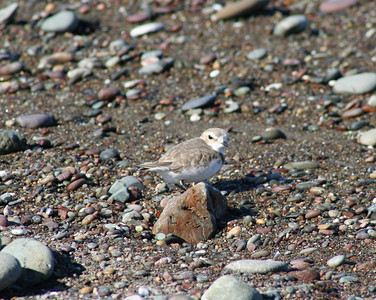 1/15/06 Snowy Plover (Charadrius alexandrius). Beach across from Washburn Day Use Area, San Simeon State Park, San Luis Obispo County, CA