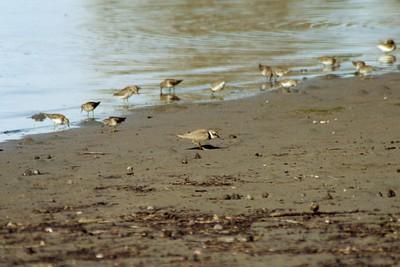 1/16/05 Semipalmated Plover (Charadrius semipalmatus). Mudflat Cafe, Morro Bay State Park, San Luis Obispo County, CA