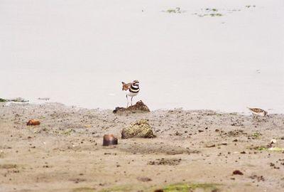 8/18/04 Killdeer (Charadrius vociferus). Moss Landing State Beach, Monterey County, CA