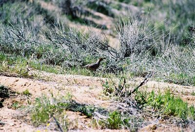3/13/05 Gambel's Quail (Callipepla gambelii). Pipes Canyon Road, Yucca Valley, San Bernardino County, CA
