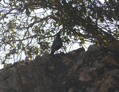 8/18/07 California Quail (Callipepla californica). Kyle Court, La Cresta, Murrieta, Riverside County, CA