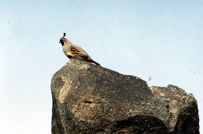 5/26/03 Gambel's Quail (Callipepla gambelii). Black Canyon Road, south of Hole-in-the-Wall, East Mojave National Preserve, San Bernardino County, CA